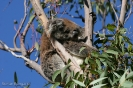 Koala - Yancheep National Park
