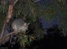 Possum auf dem Campingplatz