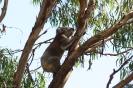 Koala Conservation Park - Phillip Island