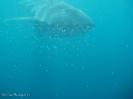 Schnorcheln mit den Walhaien - Ningaloo Reef