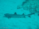 Weißspitzen Riffhai - Gullivers  - Ningaloo Reef