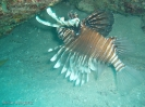 Rotfeuerfisch - 100's and 1000's  - Ningaloo Reef