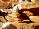 West MacDonnell Ranges - Spinifex Pigeon
